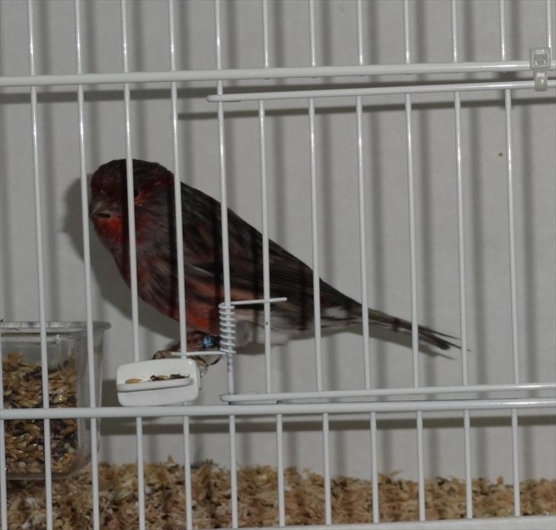 Μαυροκόκκινο έντονο