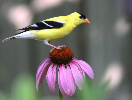 article_echinacea-purpurea